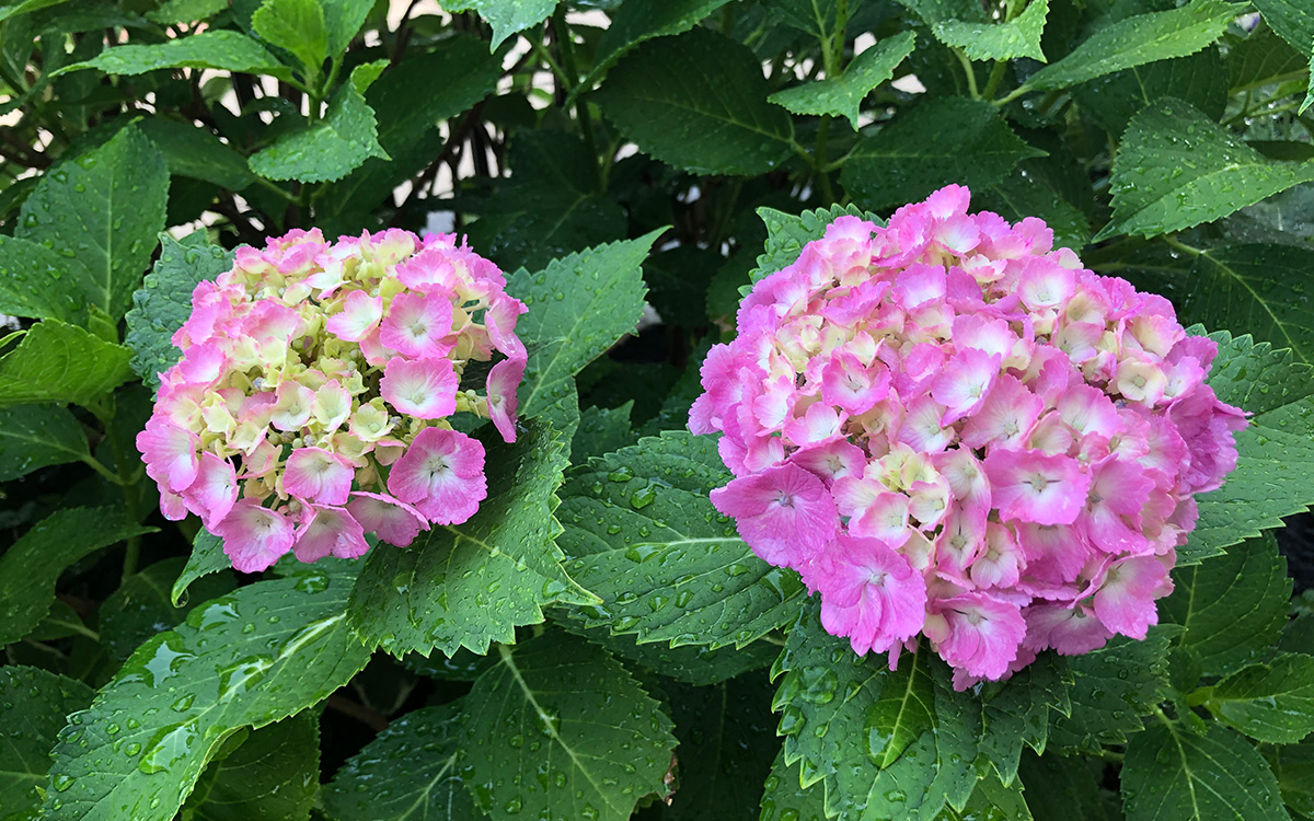 紫陽花 挿し木 時期 紫陽花の挿し木に最適な時期はいつ?失敗しないための注意点